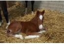 Le 1er poulain de l'année 2013 est né!